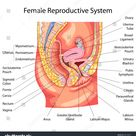 Education Chart Biology Female Reproductive System Stock Vector (Royalty Free) 658148071