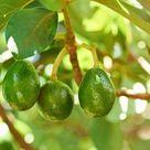 Do You Need Two Avocado Trees to Reproduce?