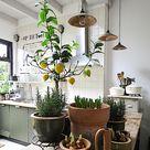 Citroenplant kweken uit een pitje. Hoe dan? - ENJOY! The Good Life