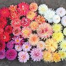 Floret Farm's Discovering Dahlias - Flower Magazine