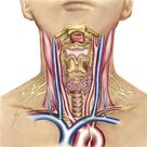 Anatomy of human neck. 1000 Piece Puzzle. Neck anatomy showing arteries of pharyngeal region and thyroid, parathyroid glands.