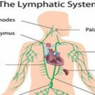 Lymphatic system | Science online
