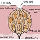 Diagram Of Taste Buds On Tongue