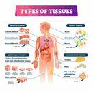 Types of tissues vector illustration