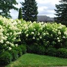 Tall Shrubs