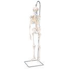 Shorty Skeleton - Miniature Human Skeleton - Mini Human Skeleton Model