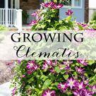 Clematis Plants