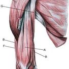 Rupture of the muscle on the front of the upper arm   Sportnetdoc