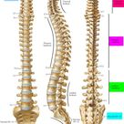 Spinal Cord Anatomy   Parts and Spinal Cord Functions