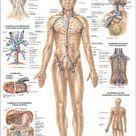 Das Lymphsystem des Menschen, 24 x 34 cm, papier-MIPO09