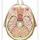 A1 Poster. Transverse section of the midbrain