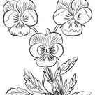 Three Pansies coloring page   Free Printable Coloring Pages