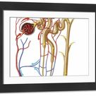 Large Framed Photo. Nephron detail, the functional unit of