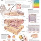 Poster: The Integumentary System Wall, 28x22in.