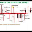 Maxillary artery branches avec mnemonic