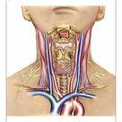 10 inch Photo. Anatomy of human neck