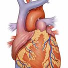1000 Piece Puzzle. Front view of a normal heart and its
