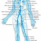 Body Vein Diagram Luxury Veins Diagram Inspirational Arteries for the Love Nursing - thearchivast.com