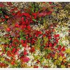 A1 Poster. Lingonberries, Cowberries & Lichen, Lofoten Islands, Norway