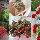 Rote Blumen für Balkon: Die besten Arten und Sorten im Überblick