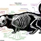 Munchkin Cat Skeleton Anatomy by TheDragonofDoom on DeviantArt