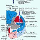 motorische Funktionen des Rückenmarks
