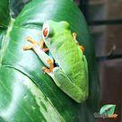 Red-eyed Treefrog aka Agalychnis callidryas