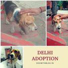 Beagles For Adoption Delhi Beagle Adoptable Beagle Dogs