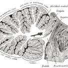 Superior cerebellar peduncle - Wikipedia