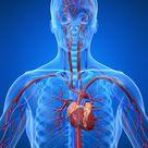 Cardiovascular system stock illustration. Illustration of arterial - 5564156