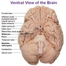 CNS Intro to Brain and Ventricles, Medulla Oblongata, Pons, Mid Brain and Cerebellum
