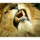 A1 Poster. Lion (Panthera leo) close up of teeth while its