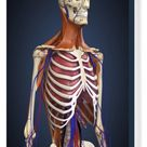 Box Canvas Print. Human upper body showing bones, lungs and
