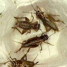 Pinhead Crickets