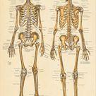 Human Skeletal Anatomy Poster Anterior and Posterior views- 24