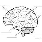 brain lobes blank diagram