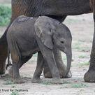 Joy Elephant Birth in the Wild