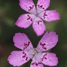 Maiden pink Dianthus deltoids flowers, Stenje region, Galicica National Park, Macedonia. 400 Piece Puzzle. Maiden pink Dianthus deltoids flowers,.