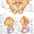 fig 7.27 Bones of the bony pelvis
