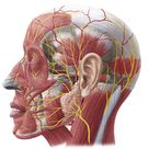 Superficial nerves of the face and scalp