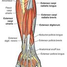 Posterior view of the arm muscles