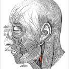 Print of Human anatomy scientific illustrations: Facial nerve