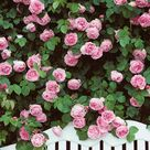10 Beautiful, Easy to Grow Climbing Roses for Your Garden
