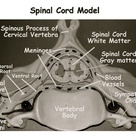 Spinal Cord Model Dura Mater, Arachnoid Mater, Pia Mater, Ventral Root, Dorsal Root, and Dorsal Root Gangion, Spinal Nerve, Central Canal, Grey & White Matter