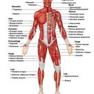 Muscular System Diagram Labeled Diagram Of Human Muscular System | Best Diagram Collection