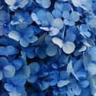 Take a look!!! It's a GREAT year for hydrangeas!!!!