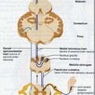 Ascending & Descending tracts of spinal cord