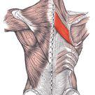 Rhomboid major muscle - Wikipedia