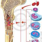 Immunsystem des Menschen -