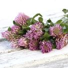 RED CLOVER Herbal Tincture 2oz  Premium Extract  Trifolium   Etsy